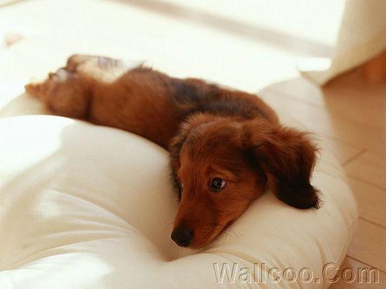 .cute little dachshund.