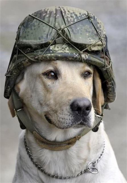Timothy, a service K9, wears the helmet of a soldier who placed it on him. He is an *army explosive sniffer dog*