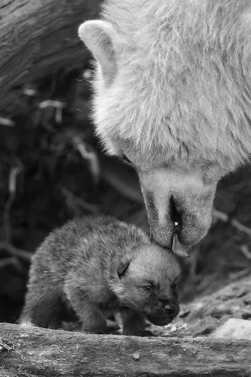 Adorable baby wolf gets some licks from mama