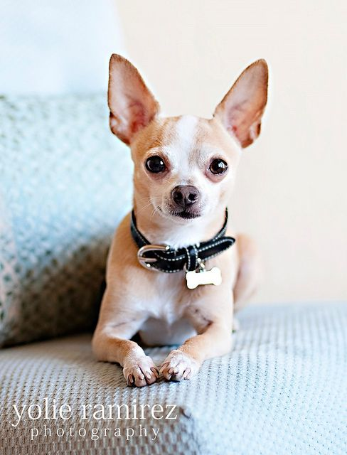 "Pinner said -- Cute chihuahua. This pic looks like my dog ""Queso""!"