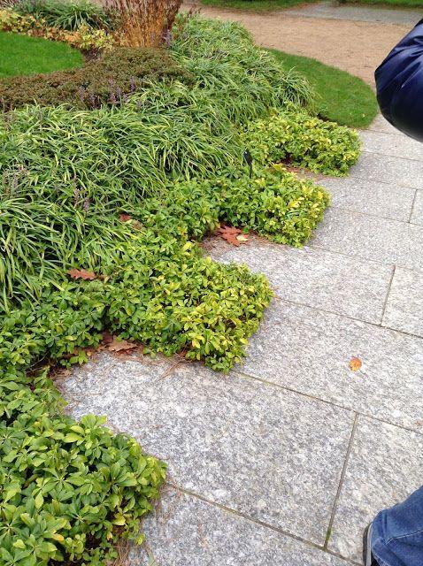 Pachisandra terminalis at Kew Gardens - Mercurelli's Garden Design Blog
