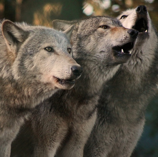 Howling grey wolves
