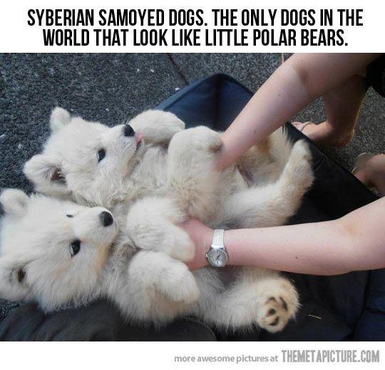 Polar Bear Dogs