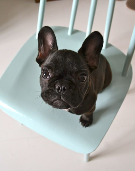 this is so adorable. great shot of a frenchie