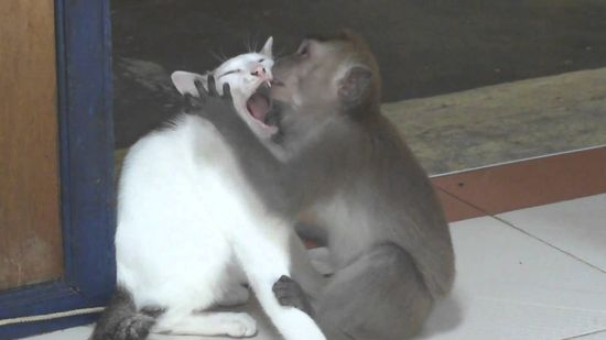 MONKEY PASSIONATELY KISSING A CAT, FUNNY ANIMALS VIDEO, FUNNY MONKEY VIDEO