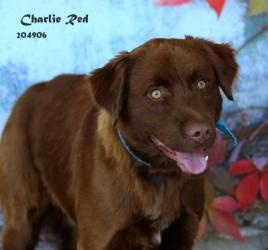 CHARLIE RED is an adoptable Golden Retriever Dog in Conroe, TX. Please consider making me a family member! INQUIRIES : Visit the shelter or EMAIL ...  ...