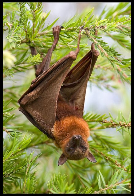 Flying Fox in tree on footpath by Sheba_Also