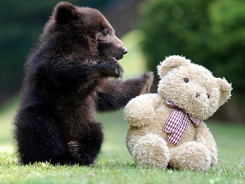 a real bear playing with a stuffed bear