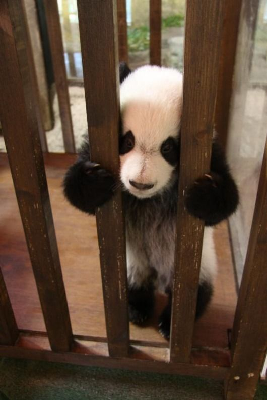 It is too bad that we must keep wild animals in cages to save them from ourselves. Young Panda