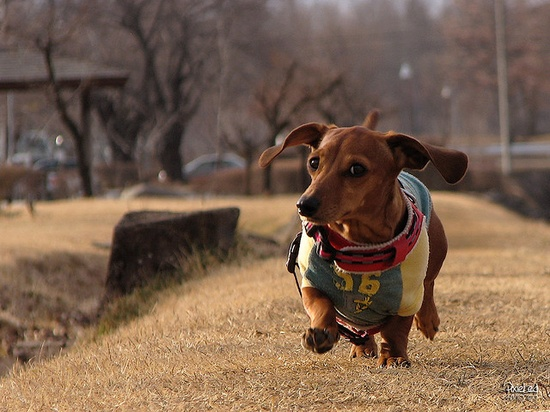 Doxie on daily run...