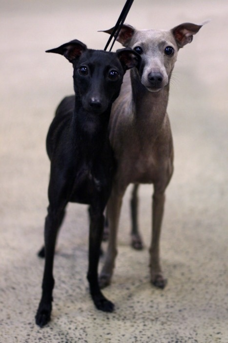 Whippets (or Italian Greyhounds...look more like Italians to me)