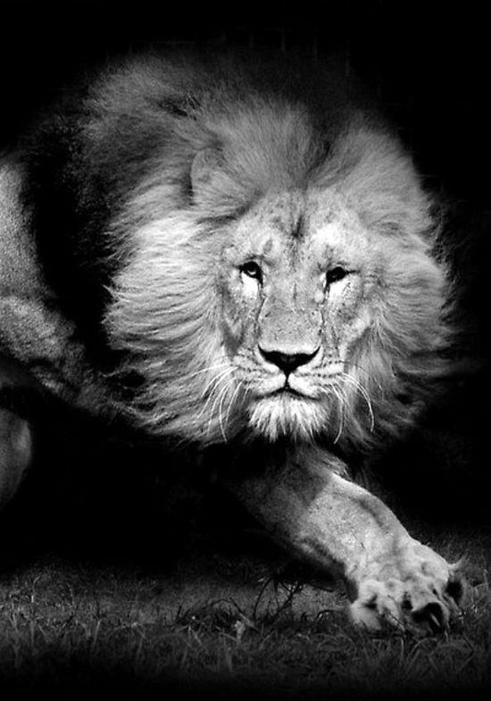 lion - wild animals ?