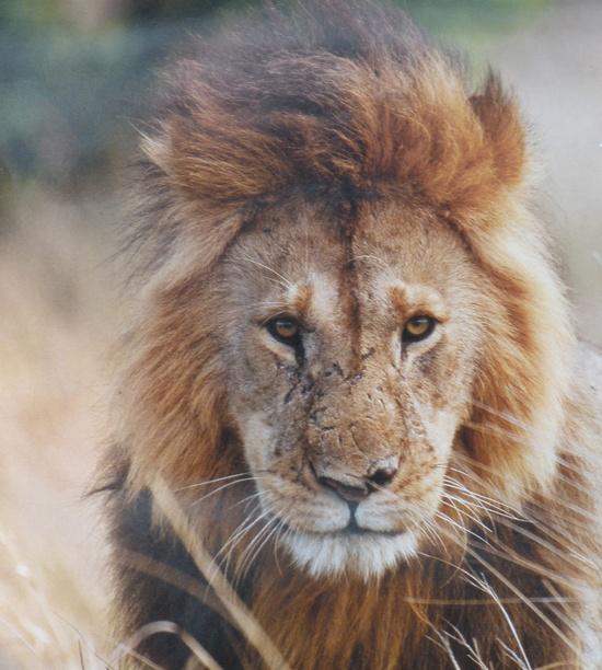 Lion grandfather? #wild #animals