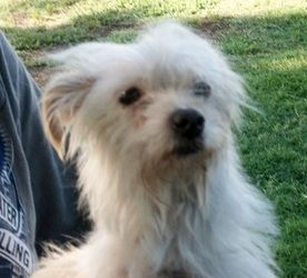 Calina (Sizzling Summer Adopt) is an adoptable West Highland White Terrier Westie Dog in Sulphur, OK. Calina is a white little girl approx 18-24 months old.  She appears to be westie/wire hair terrier...