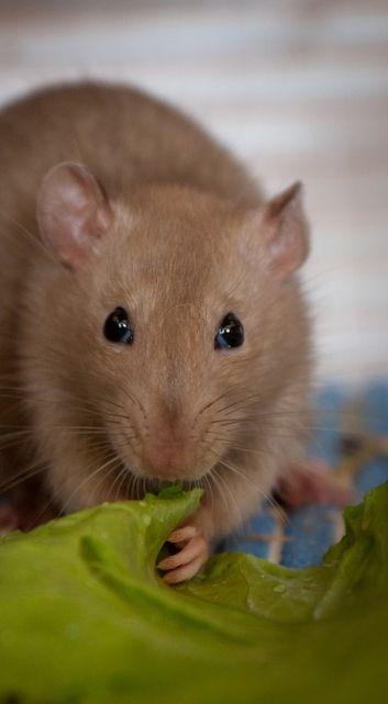 Cute Pet Rat Eating Salad Leaf / commons.wikimedia...