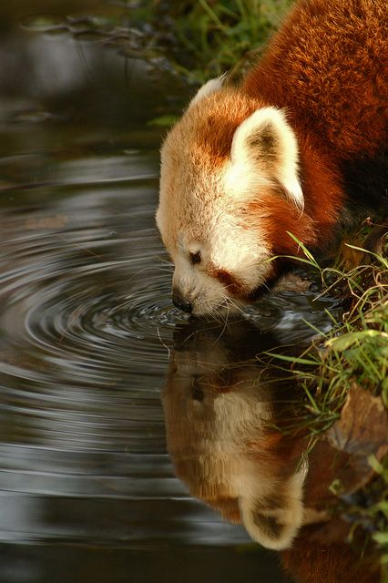 Red Panda thirsty