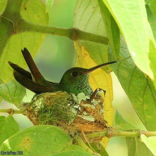 Hummingbird on nest.