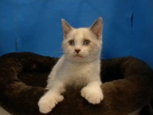 Emilio is an adoptable Ragdoll Cat in Gainesville, FL.  The best way to contact us is through email, mailto:Star32601@.... We showcase our kitties at Petsmart, Ocala and at times Petsmart, Gainesville. O...