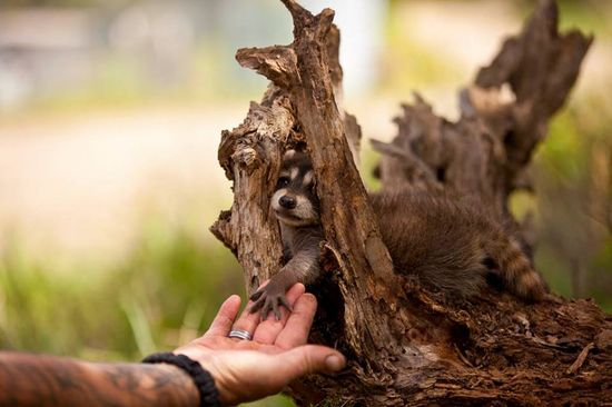 Baby raccoon seeks a comforting hand from its surrogate human parent  July 2012 Photo contest: Baby animals