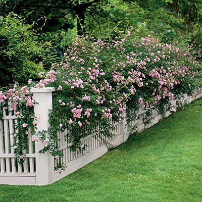 Climbing Roses  Vines and sprawlers need something to climb, and what better structure than a pretty fence?  Climbing roses such as 'The Fairy' are matches made in heaven, but don't overlook other worthy candidates such as 'Amethyst Falls' American wisterias, bougainvilleas, Carolina jessamines, clematis, Confederate jasmines, crossvines, cypress vines, hyacinth beans, mandevillas, morning glories, passion vines, and trumpet honeysuckles.