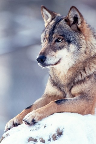 "Russian grey wolf. Still from ""Wild Russia."""