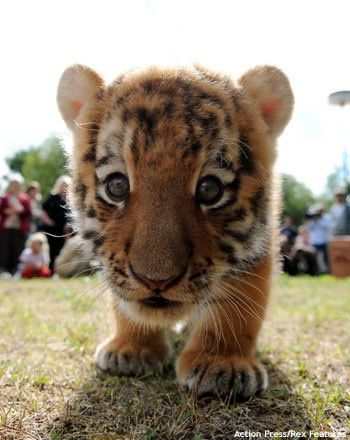 #cute #baby #tiger #wild #cat