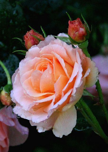 Soft peach rose