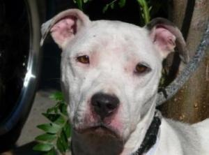 May is an adoptable Pit Bull Terrier Dog in New York, NY. May is quite thin, her coat is dirty, her bent legs are the witness of lengthy confinement and she has been a mother at some point. May has be...