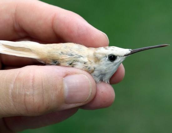 Bird Expert Tags Rare White Hummingbird