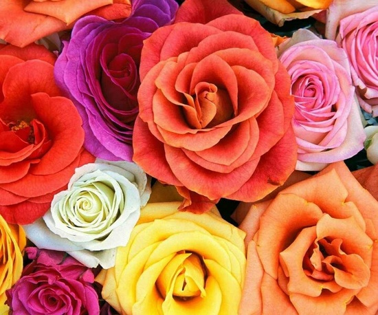 Colored Roses ?