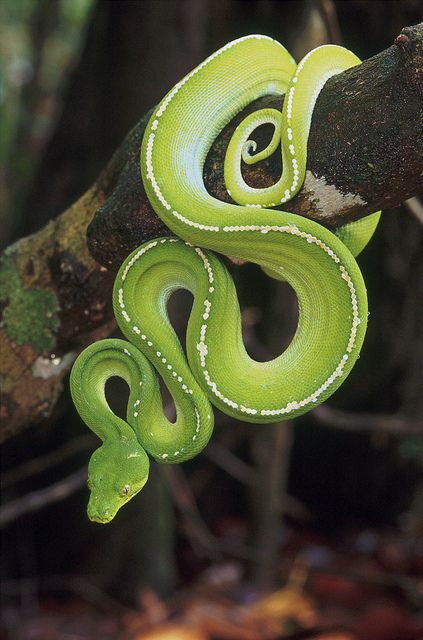 Green python photographed by Bruce Thomson