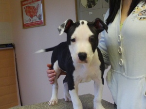 Davey is an adoptable Pit Bull Terrier Dog in Kelseyville, CA. Davey is a happy 10 week old male Pit Bull Terrier puppy. His tail is always wagging and he loves playing with other dogs and people too....