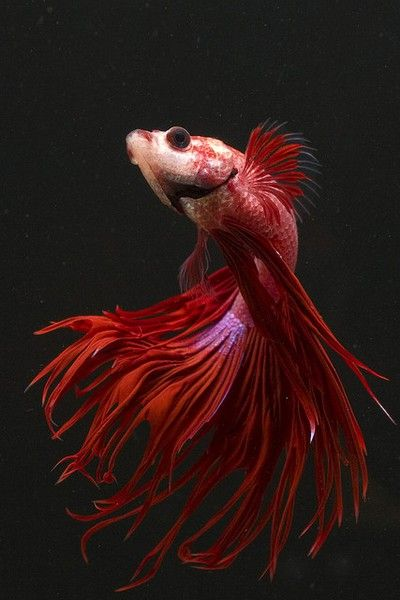 peixe vermelho - fantástico