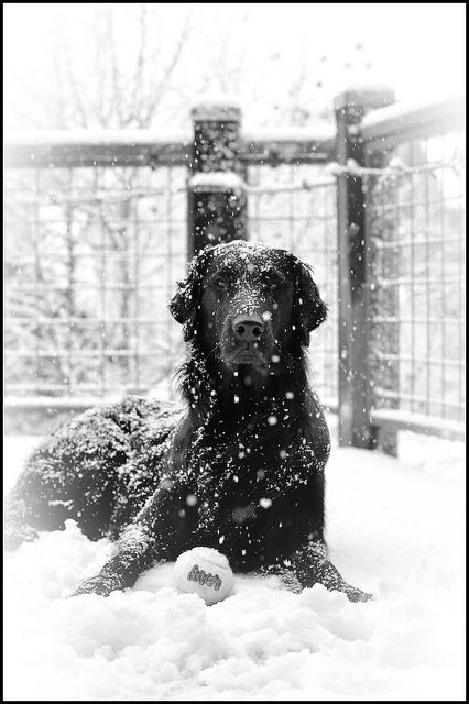 black dog in the white snow ?