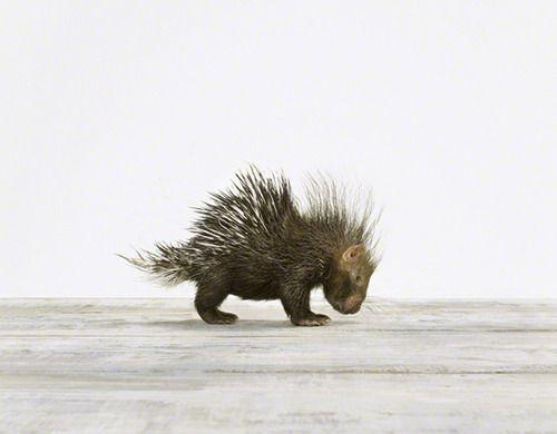 Baby Porcupine #animals