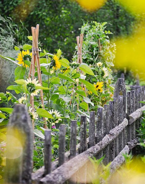 Sunflowers and the perfect country fence.