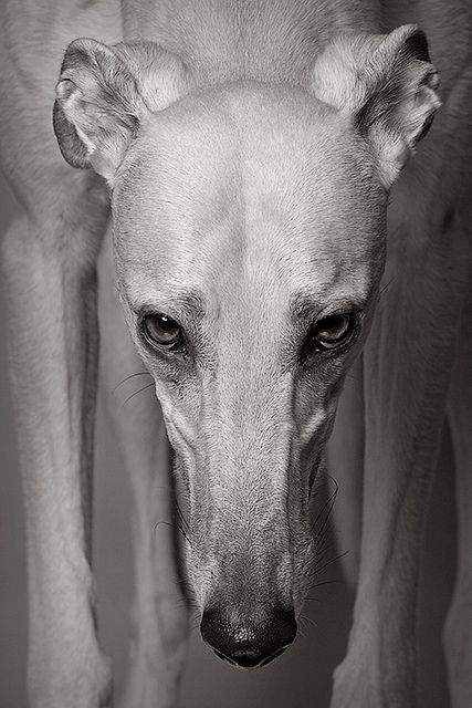 Gable, Greyhound
