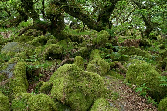 Wistman's Wood in Dartmoor National Park in England. It is one of the most ancient oak woodlands in England, and is comprised of contorted oak trees which only grow to around 3 metres high. The trees grow through and around a carpet of boulders, and the whole scene is covered with moss.
