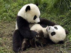 Pandas are Cute