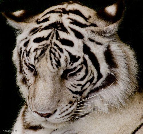 White Tiger -- My ultimate favorite animal!!!
