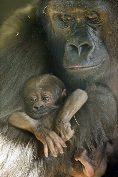 llbwwb:  Endangered baby gorilla born at Chicago's Lincoln Park Zoo, byTodd Rosenberg / Lincoln Park Zoo via AP