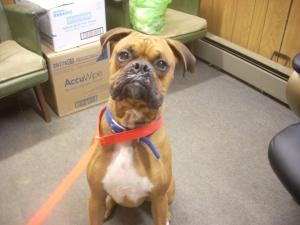 #OHIO #URGENT ~ ID 17 STRAY AVAIL. 5-14 ( 2 ISH ) -- is an #adoptable Boxer Dog in #Carrollton -- Available for #adoption 5/14 with very limited time to find a loving home from the CARROLL COUNTY DOG POUND  2185 Kensington Rd NE Route 9   #Carrollton OH 44615  Ph 330-627-4244