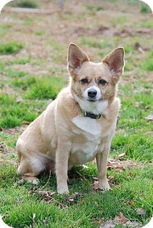Adopt a Pet :: Lizzie - Manchester, MO - Corgi/Pug Mix... A CORGI PUG MIX?!?! can life get any better than that?