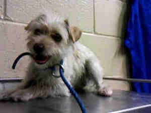 A4466770 URGENT DOWNEY SHELTER: Terrier, Dog; Downey, CA
