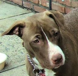 Chuntz 113790 is an #adoptable Pit Bull #Terrier #Dog in #Newark, #NEWJERSEY. This little girl has been taking advantage of the plentiful food while she waits for that right person to come along and adopt her.  S...