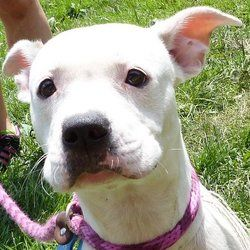 Raisin - Kennel #21 is an adoptable Pit Bull Terrier Dog in Valley View, OH. Raisin is a 9 month old Pit mix female.  This beautiful girl is sweet as can be.  She is a playful girl that really hopes f...
