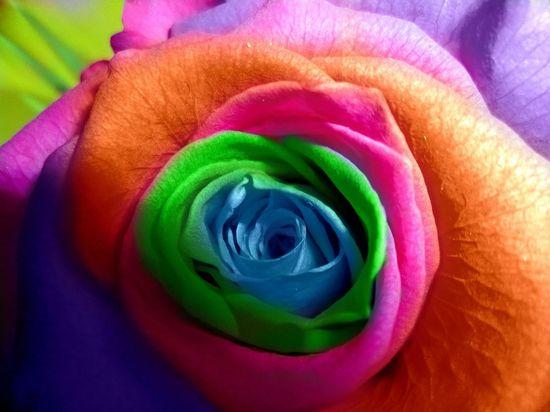 Multi-colored rose