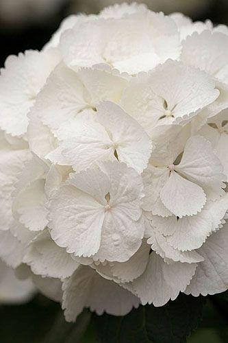 Hydrangea macrophylla 'snowball'