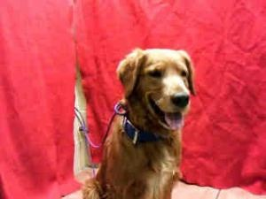 No longer available. A4531486 URGENT DOWNEY SHELTER is an adoptable Golden Retriever Dog in Downey, CA. **WE NEED VOLUNTEERS TO POST & REMOVE PETS ON PETFINDER. IF YOU CAN COMMIT TO THE CAUSE OF HELPING SAVE SHELTER ANIMA...