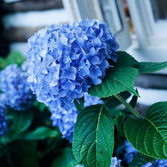 Love hydrangea? Use this Gardener's Guide to Hydrangeas for a list of popular varieties and tips for hydrangea care! #BHGSummer